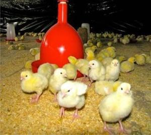 10-Chicken-Farm3