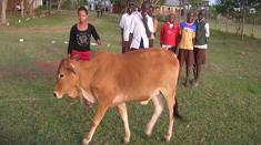 helen cow2